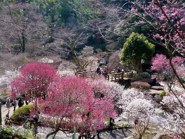 日本一早い熱海観梅と熱海桜で春を感じよう!!